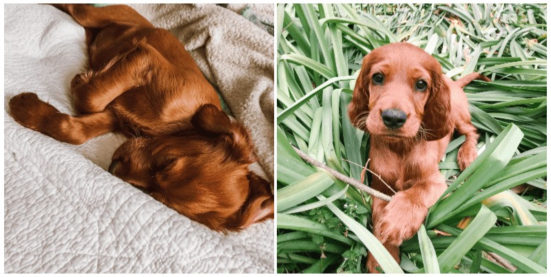Marlowe, our Irish Setter puppy - 8 Weeks old
